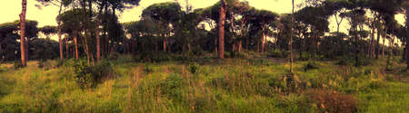 Panoramic sunrise view of a domestic pine trees forest from uncultivated mediterranean meadow.