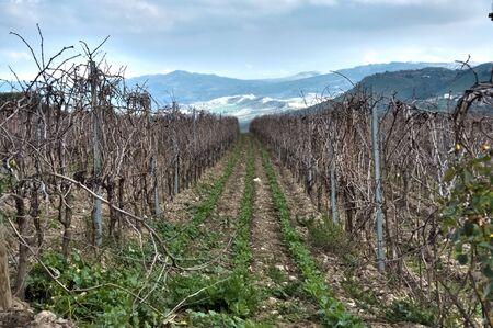 Beautiful vineyard in the evening  photo