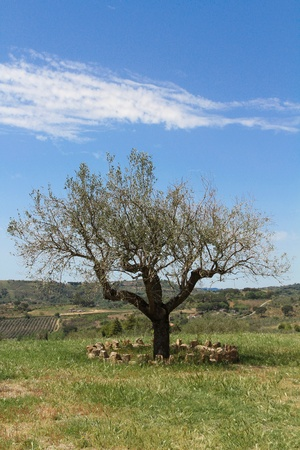 Old Olive tree on ble sky Stock Photo - 13528954