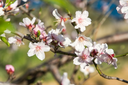 almond bud: A closeup of an almond tree with white flowers with branches