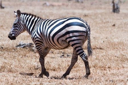 Zebra in Kenya's Tsavo Reserve Stock Photo - 18339847
