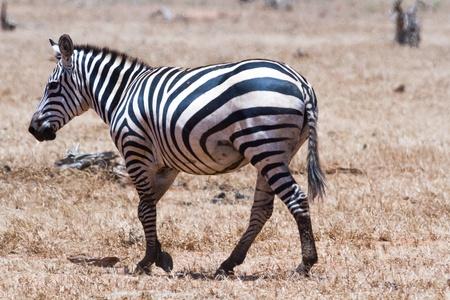 Zebra in Kenya's Tsavo Reserve Stock Photo - 18339847
