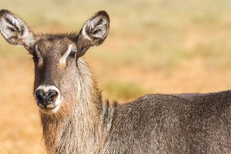 savana: Female Kobus defassa - Tsavo, Kenya