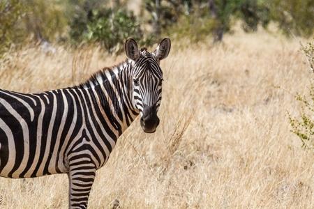 tsavo: Zebra in Kenyas Tsavo Reserve