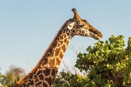 Jirafa (Giraffa camelopardalis) en el Parque Nacional de Tsavo, Kenia
