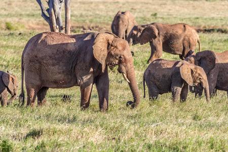 savana: African Elephants in the savana landscape Stock Photo