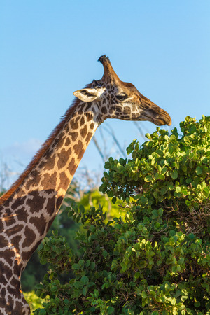 savana: giraffe eating leaves in Savana