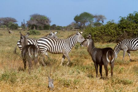 burchell: Zebras in Kenya Stock Photo
