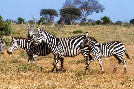 burchell: Zebras in Kenyas Tsavo Reserve Stock Photo