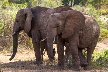 savana: Group of elephants in the Savana
