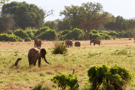 savana: African Elephants in the savana landscape Stock Photo