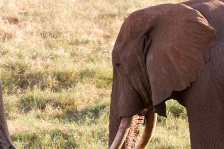 savana: African Elephant in the savana