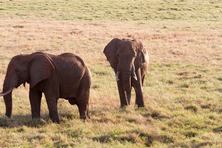 savana: African Elephants in the savana Stock Photo