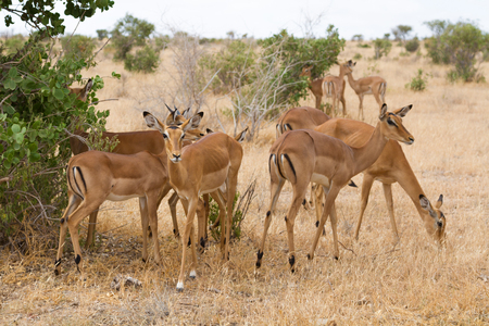 Group of impala in Tsavo Natioanl Park, Kenya - Africa