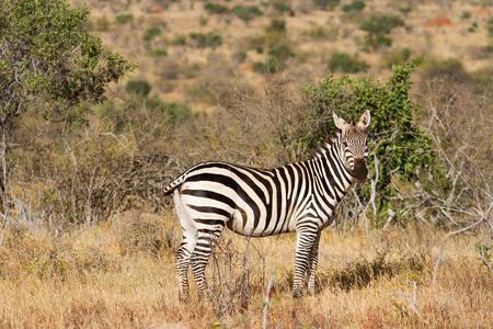 ungulate: Zebra in the grasslands of the Serengeti at dawn, Tanzania, East Africa Stock Photo