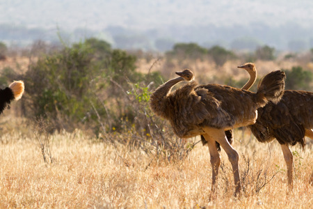 struthio camelus: Ostrich standing on the African savannah on background of tall grass and a blue sky, Kenya