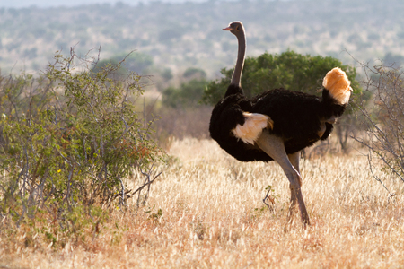 Ostrich standing on the African savannah on background of tall grass and a blue sky, Kenya