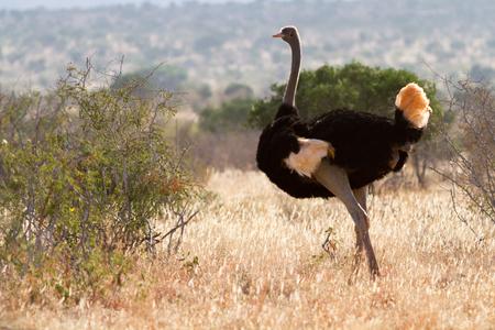 Struisvogel staande op de Afrikaanse savanne op achtergrond van hoog gras en een blauwe hemel, Kenia