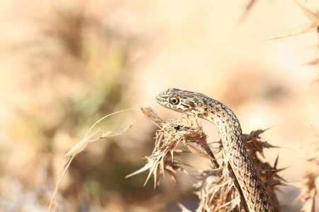 forked: Close up of snake
