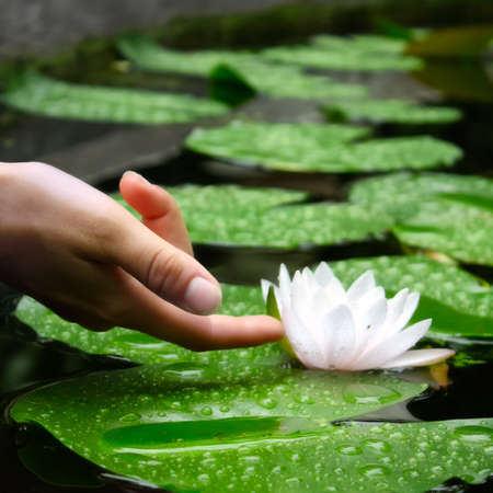 flor de loto: La escena muestra a dedo de una mujer tocando un sol en un estanque, dando una sensaci�n de calma, tranquilidad y delicadeza.