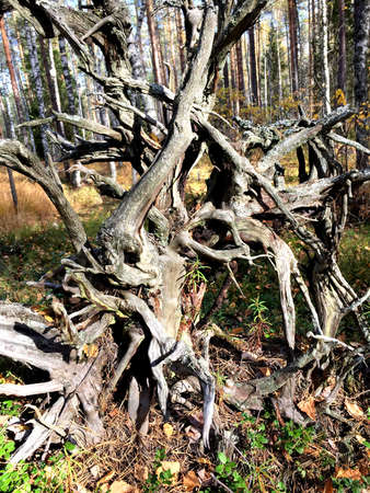 Huge dry tree root in the autumn forest