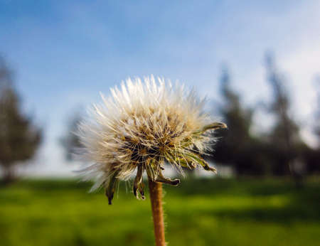 Dandelion Seed Blowing in the Wind with blured colorful background. Flower Background Wallpaper, useful for springsummer Stock Photo