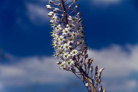 Beautiful blooming white flower, Drimia maritima, with cloudy blue skies, in the background, Israel