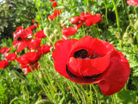 Blooming red flower, Papaver, Corn Poppy, with bokeh blurry flowers and green meadow background, Israel Stock Photo