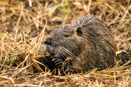 Closeup shot of Myocastor coypu, nutria, eating in Hula. Israel Stock Photo
