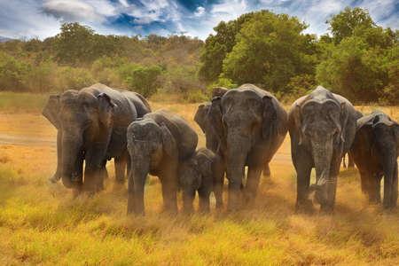 Wilde olifanten op de stoffige gras in Minneriya nationaal park in Sri Lanka