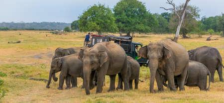 Sri Lanka Los elefantes salvajes - Safari Foto de archivo - 60060321