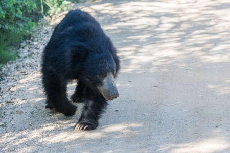 Walking bear -Yala Sri Lanka