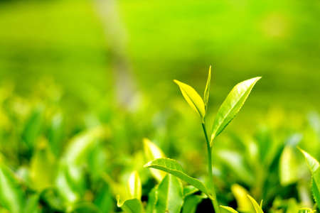 Plantación de té - Dos hojas y Bud Foto de archivo - 59835480