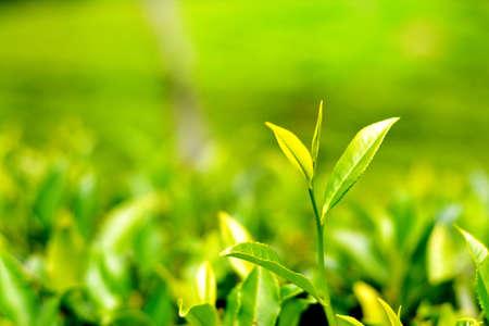 Tea Plantation - Twee bladeren en Bud Stockfoto