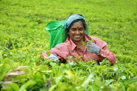 Jardín de té Hatton 20 de de junio de 2013 Sri Lanka: Mujeres arranca las hojas de té en un frondoso jardín de té de Sri Lanka Foto de archivo - 59578780