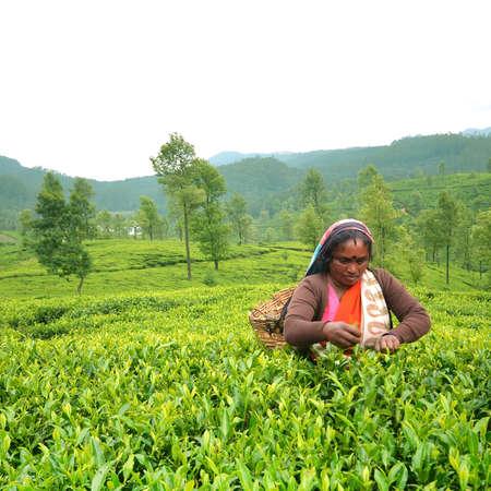 Nuwaraeliya sri lanka - 14 augustus 2014 - Tamil Sri Lankaanse vrouwen breekt thee in mistige ochtend. Redactioneel