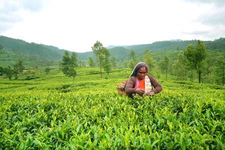 Tea Pluckers Nuwara Eliya, Sri Lanka - 17 april 2015: Ceylon thee is een van de beste thee in de wereld en het heeft een unieke smaak combineert met mooie geur en kleur.