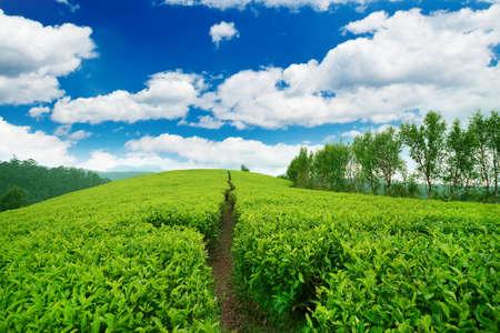 Plantación de té en el tiempo de suspensión. La naturaleza de fondo Foto de archivo - 57708538