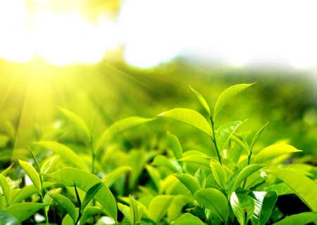 Thee plantage in de zonsondergang tijd. Natuur achtergrond Stockfoto