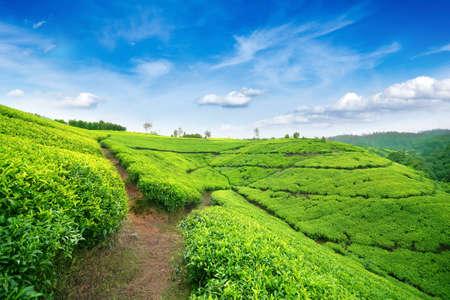 Tea fields in the mountain area in Nuwara Eliya, Sri Lanka