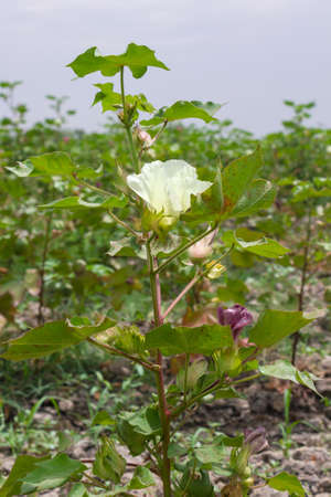 cotton flower: Closeup of cotton flower and boll on the cotton field Stock Photo