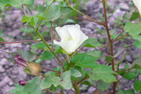 bolls: Closeup of cotton flower and boll on the cotton field Stock Photo