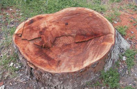 sawn: Stump of an old and big tree freshly sawn