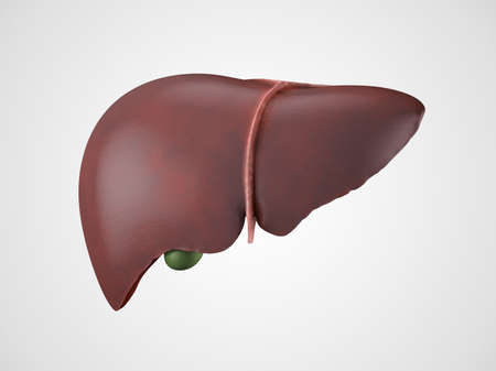 medical people: Realistic anatomical model of healthy human liver with gallbladder isolated on white