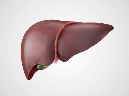 higado humano: Modelo anat�mico realista de h�gado humano saludable con la ves�cula biliar aislado en blanco