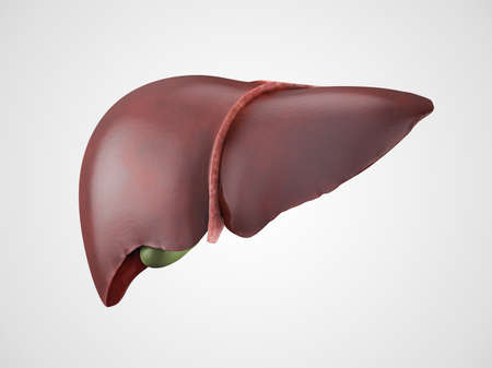 Realistic anatomical model of healthy human liver with gallbladder isolated on white