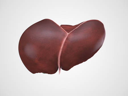 anatomical model: Realistic anatomical model of healthy human liver with gallbladder isolated on white