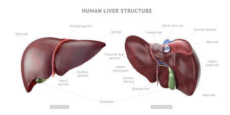 Anatomy structure of realistic human liver with indicators and text captions, front and back