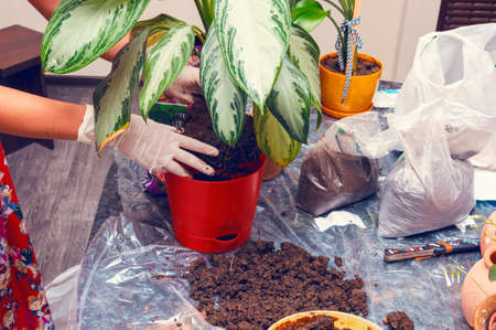 working woman: Woman working with house plant using shovel