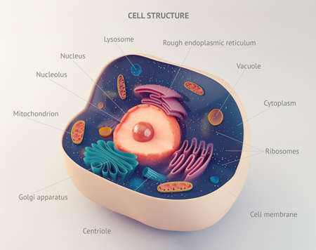 vacuole: Anatomical structure of biological animal cell with organelles Stock Photo